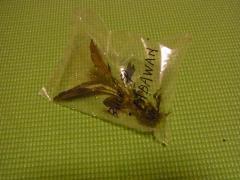 ブセファランドラ sp.PADAWAN