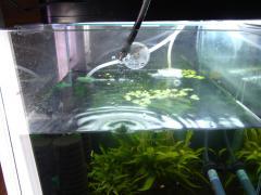 シュリンプ水槽水替えです