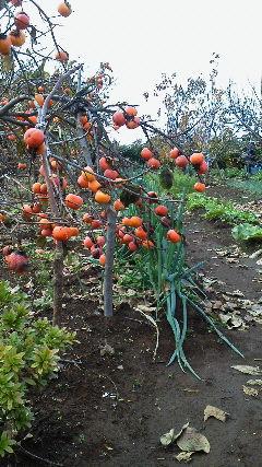 3 みかん園柿