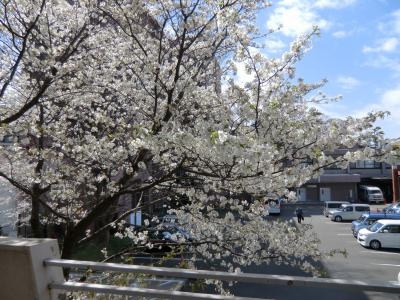 25年3月の桜①