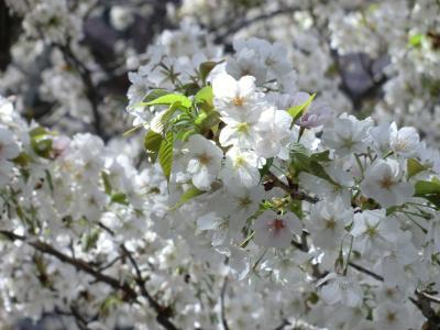 25年3月の桜②
