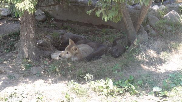 120707ニホンオオカミ