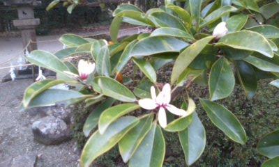 御神木の花