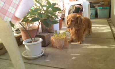 犬・ネコが食べる草