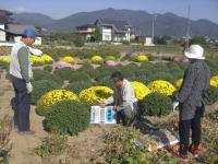 H241017菊の鉢とり