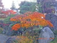 H241115庭の紅葉