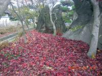 H241130紅葉した落ち葉