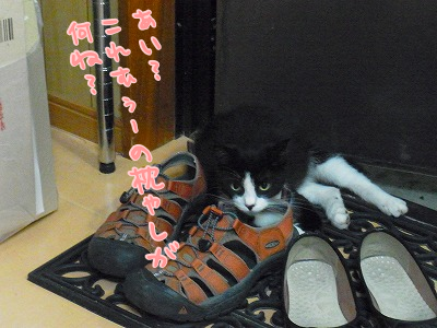 おにぃの靴を枕に寝るようになり