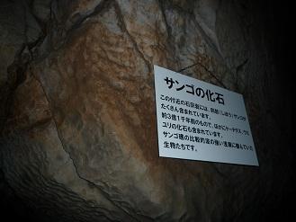 サンゴの化石