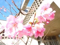 桜ズームアップ