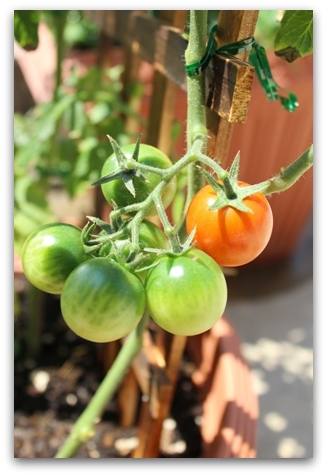 トマトとバジル (2)
