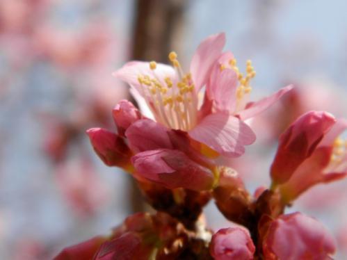 おかめ桜4