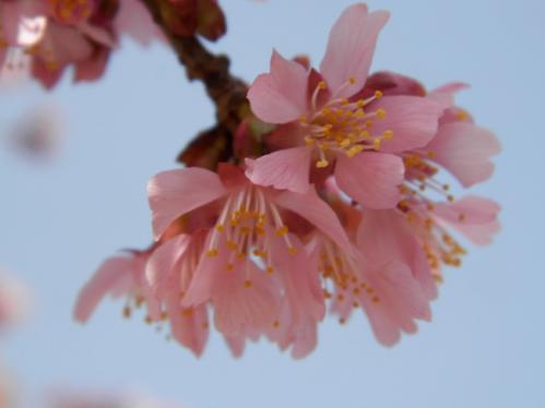 おかめ桜5