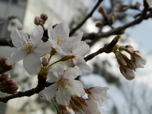 321桜3