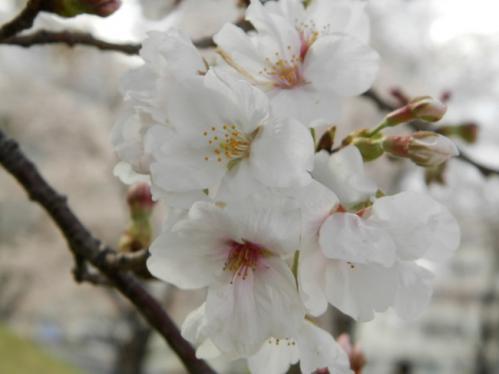 321桜4