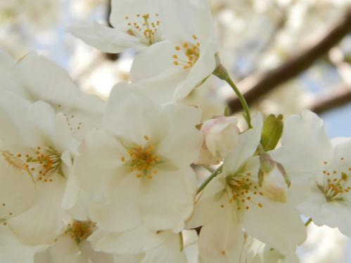 321桜5