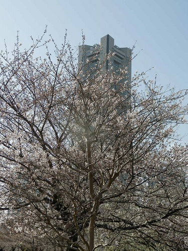 321桜7