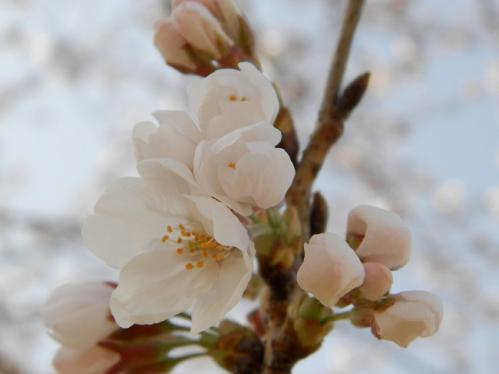 321桜9