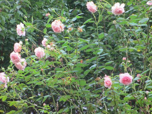 アーチの薔薇