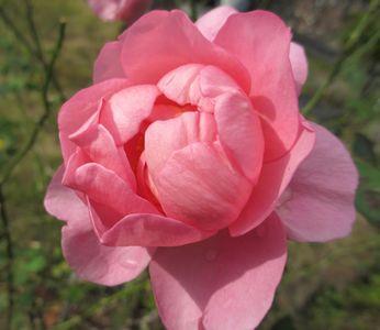 ピンクのバラ2012・10
