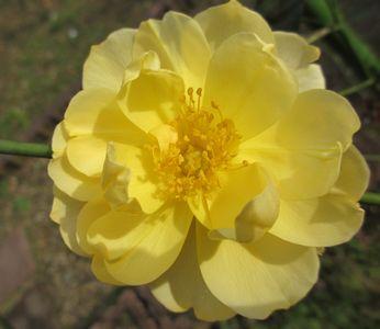 黄色いバラ2012・10