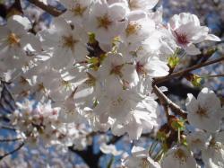 千鳥ヶ淵の桜・花びら・2013.3.21