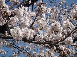 千鳥ヶ淵の桜・近景・2013.3.21