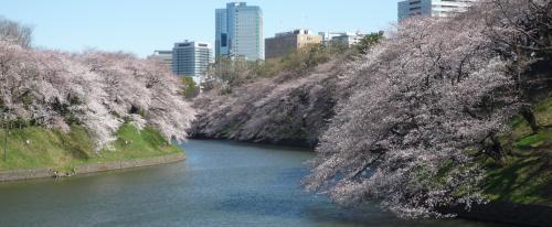 千鳥ヶ淵の桜・遠景2013.3.21