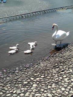 白鳥004