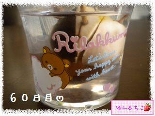 ちこちゃんのアボカド観察日記★9★57~63日目-2