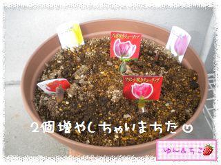 ちこちゃんのチューリップ観察日記★2★芽が増えた??-2