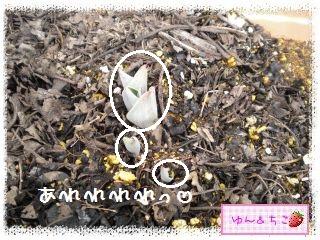 ちこちゃんのチューリップ観察日記★2★芽が増えた??-6