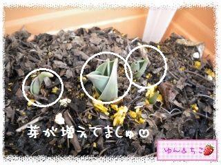 ちこちゃんのチューリップ観察日記★2★芽が増えた??-8