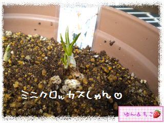 ちこちゃんのチューリップ観察日記★3★成長中~-4