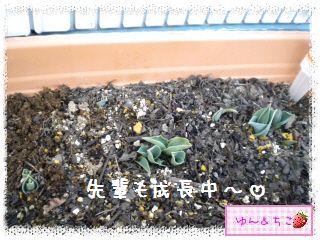 ちこちゃんのチューリップ観察日記★3★成長中~-6
