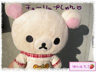 ちこちゃんのチューリップ観察日記★4★雪がうっすら…-1