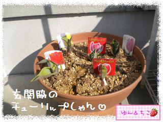 ちこちゃんのチューリップ観察日記★5★急成長-2