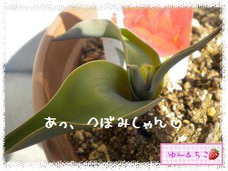 ちこちゃんのチューリップ観察日記★5★急成長-3
