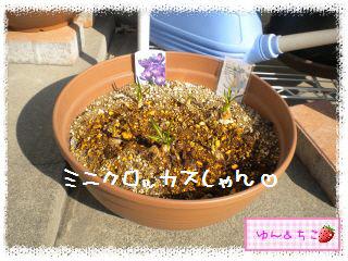 ちこちゃんのチューリップ観察日記★5★急成長-4