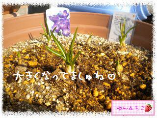 ちこちゃんのチューリップ観察日記★5★急成長-5