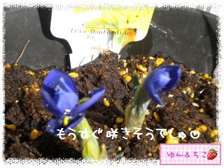 ちこちゃんのチューリップ観察日記★6★つぼみしゃん♪-3