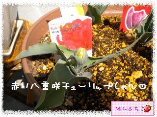 ちこちゃんのチューリップ観察日記★6★つぼみしゃん♪-4