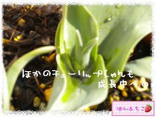 ちこちゃんのチューリップ観察日記★6★つぼみしゃん♪-5