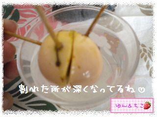 ちこちゃんのアボカド観察日記★10★64~70日目-3