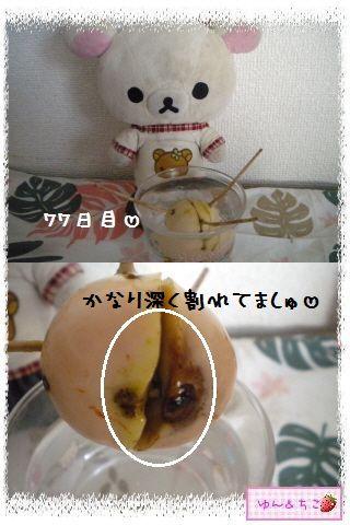 ちこちゃんのアボカド観察日記★11★71~77日目-2