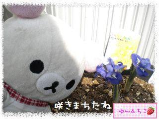 ちこちゃん日記★159★ミニアイリスしゃん咲いたよ♪-1