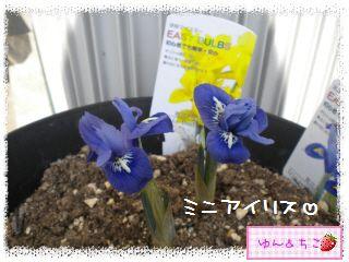 ちこちゃん日記★159★ミニアイリスしゃん咲いたよ♪-2