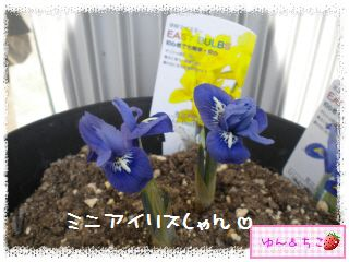 ちこちゃんのチューリップ観察日記★7★栄養あげりゅ♪-2