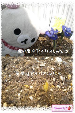 ちこちゃんのチューリップ観察日記★7★栄養あげりゅ♪-3