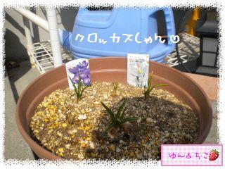 ちこちゃんのチューリップ観察日記★7★栄養あげりゅ♪-6